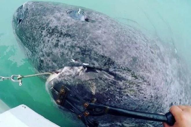 Рыбаки отпрянули от воды: наверх смотрела древняя акула