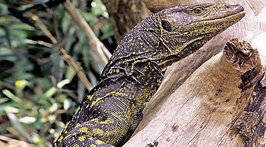 Varanus bitatawa Впервые Varanus bitatawa ученые открыли совсем недавно. Область распространения варана ограничена лесами центральной Сьерра-Мадре — такой себе варан-домосед.