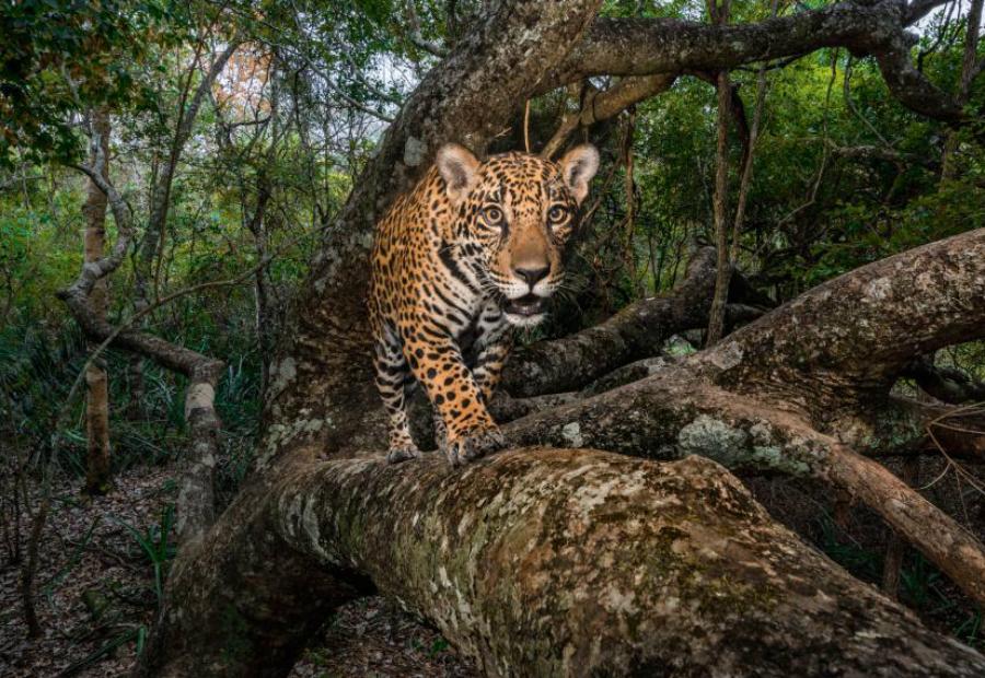 Фотоловушка Стив Уинтер 10-месячный котенок ягуара попал в инфракрасный луч камеры-ловушки, когда возвращался в безопасное логово. Снимок сделан в Бразильском регионе Пантанал, крупнейшем в мире тропическом водно-болотном угодье и одном из последних убежищ для ягуаров.