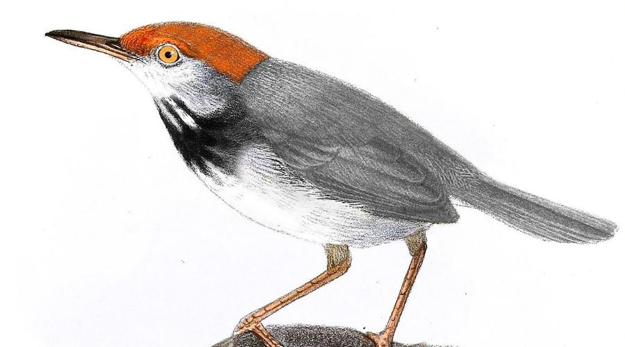 Камбоджийская портниха Как можно догадаться из названия, птичка встречается только в Камбодже. К сожалению, недавно открытый вид находится под угрозой исчезновения из-за климатических изменений.