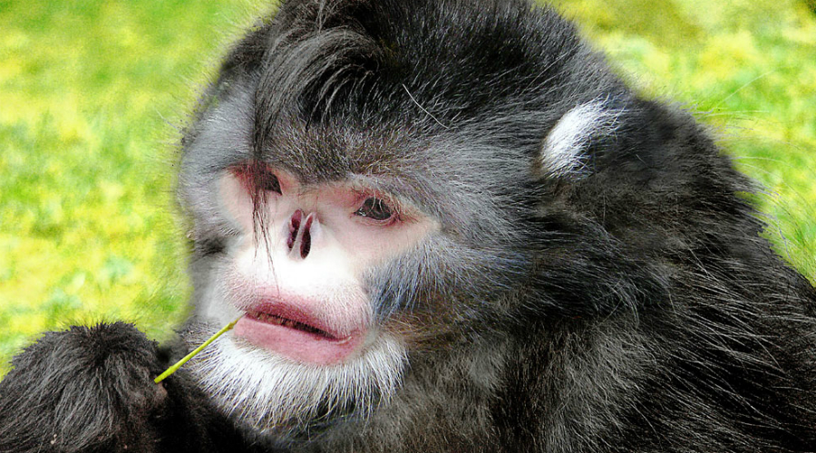 Бирманская курносая обезьяна По прихоти природы бедняга ринопитек вовсе лишен носа. Во время дождя обезьянка чихает, потому что вода затекает ей прямо в носовые пазухи!