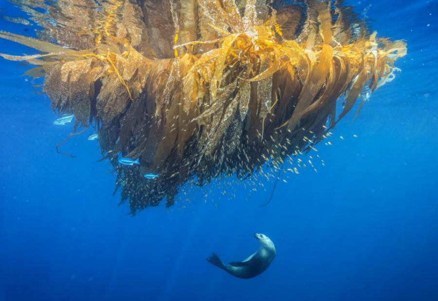 Морской лев Брайан Скарри Калифорнийский морской лев охотится за рыбой в Кортес-Банке. К сожалению, здесь на этих удивительных морских обитателей идет беспощадная охота и даже местный муниципалитет одобряет промысел.