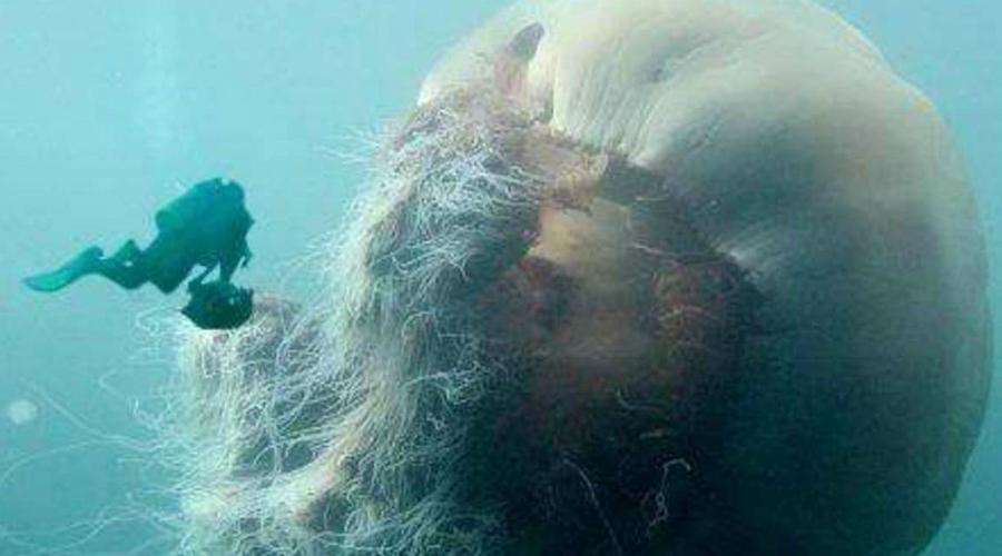 Медузы Первые медузы появились еще 600 миллионов лет назад. Даже сегодня в океане встречаются поистине огромные представители вида, ну а раньше медузы так и вовсе достигали 5-10 метров в диаметре.