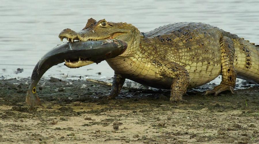 Крокодилы А вот и настоящие динозавры. 250 миллионов лет назад крокодилы жили на суше, но потом решили перебраться в воду. Нет ни одного более опасного существа в мире — крокодилу совершенно все равно, на кого охотиться. Некоторые экземпляры доживают до двухсот лет!