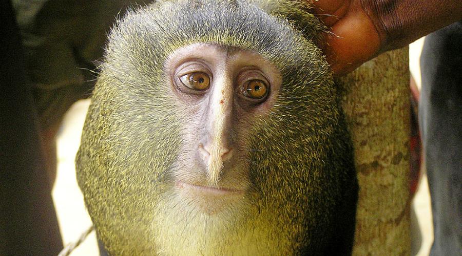 Лесула Эндемик экваториальной Африки, на которого зачем-то очень активно охотятся местные жители. Это первый новый вид мартышек с 1984 года.