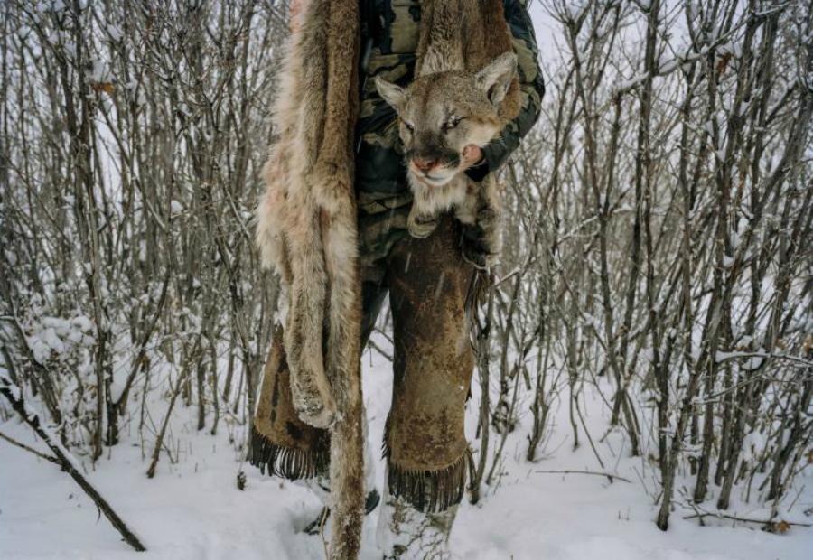 Охотник Дэвид Канцлер Охотник несет в руках шкуру горного льва, добытого в южной части Юты. Каждый год государство позволяет уничтожать определенное количество горных львов. Эта мера необходима, чтобы сохранить поголовье скота.