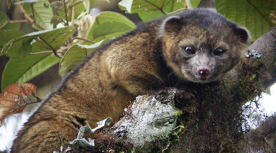 Олинигито Представьте себе потомка кошки и милого плюшевого медвежонка — именно так выглядит олинигито. Встретить зверька очень сложно, обитает он только в облачных лесах, высоко на склонах Анд.