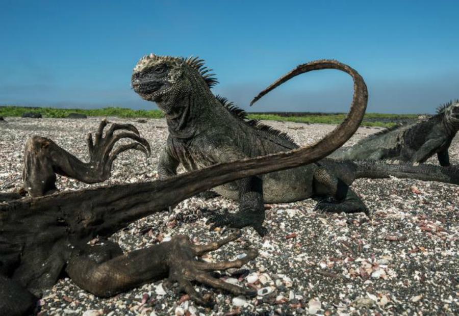 Смерть и жизнь Томас Пешак Парочка морских игуан невозмутимо смотрят на мумифицированные трупы своих собратьев. Вероятнее всего, игуаны умерли от голода, не сумев раздобыть достаточное количество пищи.