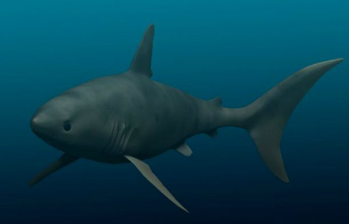 Отодус Несмотря на то, что Otodus даже не близок к самой большой акуле своего времени, определенно больше, чем любая акула, живущая сегодня. Отодусы никогда не занимали верхних мест на вершине пищевой цепочки, зато всегда стояли несколько особняком — на стайных хищников охотиться не рисковал никто.