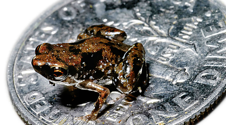 Paedophryne amauensis Микроквакша официально признана самым маленьким позвоночным на всей планете. Размеры Paedophryne amauensis не превышают семи миллиметров — удивительно, что ученые вообще смогли ее разглядеть.
