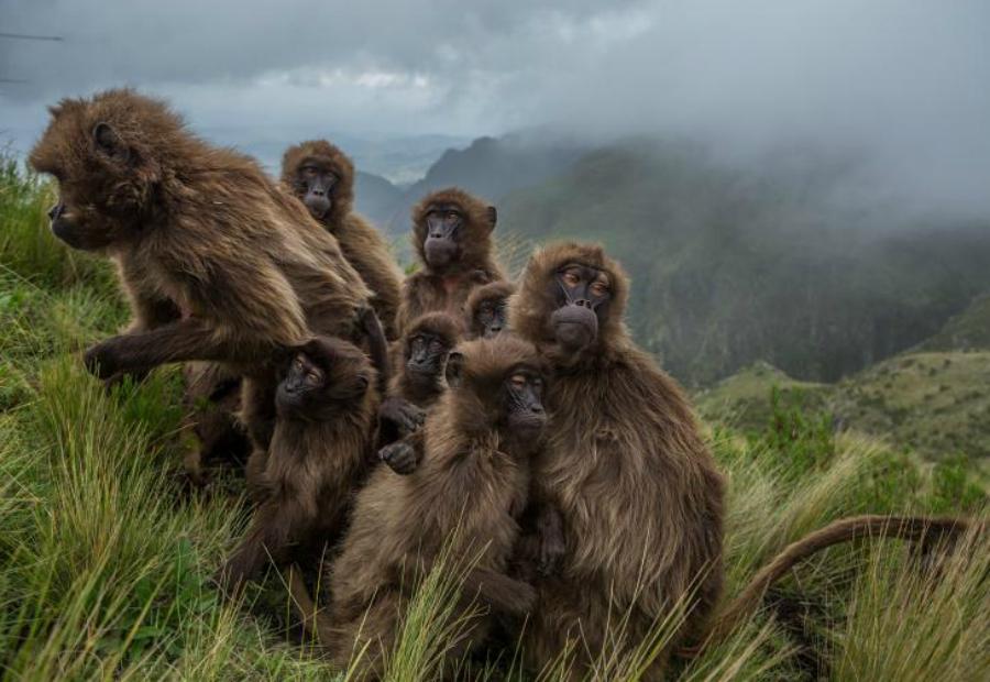 В тепле Джеффри Кирби Гелады, очень редкий вид приматов, скрываются в зарослях, пытаясь сохранить остатки дневного тепла. Им приходится тяжело трудиться весь день, чтобы добыть необходимое количество калорий из травы и семян.