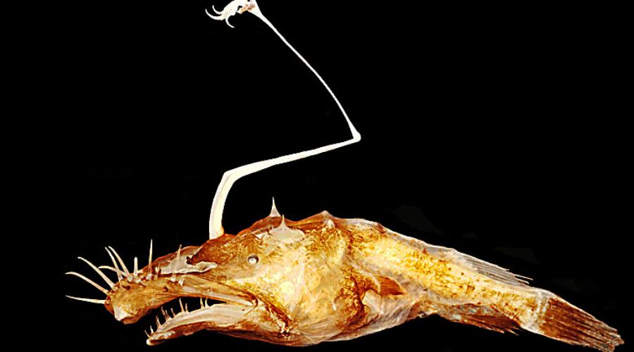 Страшный рыбак Глубоководный удильщик сам по себе удивляет ученых, а уж разновидность Lasiognathus dinema так и вовсе стала феноменом. Хищник водится только в Мексиканском заливе на глубине в полтора километра, открыли его только в прошлом году.