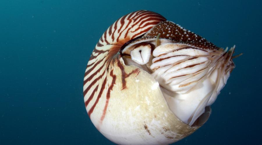 Наутилус 500 миллионов лет назад голоногие моллюски впервые выделились в одни вид. Наутилус — очень необычный моллюск. Он использует свою раковину как своеобразный поплавок, накачивая ее газом для погружения на глубину или для всплытия на поверхность.