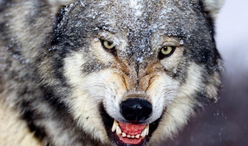 Дикие звери В нашей стране шанс повстречать дикого опасного зверя достаточно невелик, но такое бывает. Животные редко нападают просто так, только если человек подойдет слишком близко или будет перекрывать привычную тропу. Старайтесь предупредить зверей о своем присутствии: ломайте ветки, разговаривайте. Ночью по периметру стоянки нужно пометить мочой — да, не очень-то цивилизованно, но вы и не в городе. Животные и сами метят свою территорию таким образом.