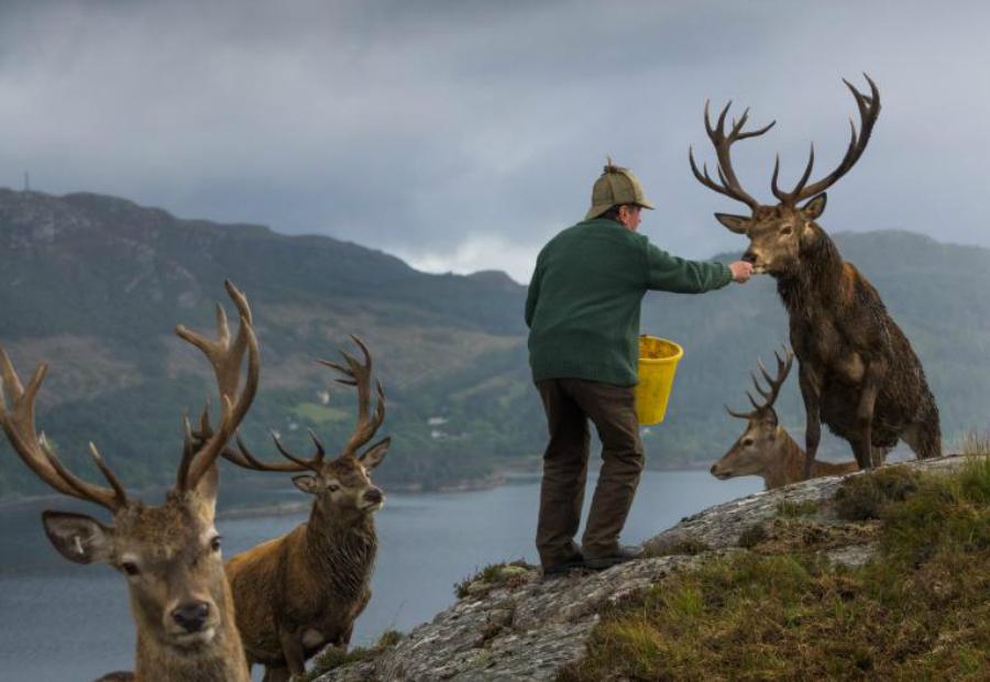 Кормление оленей Джим Ричардсон Колин Мердок, один из лесничих заповедника Ререйга, расположенного неподалеку от Лох-Каррона, кормит оленей. Сотни туристов каждый год приезжают сюда в это время года.