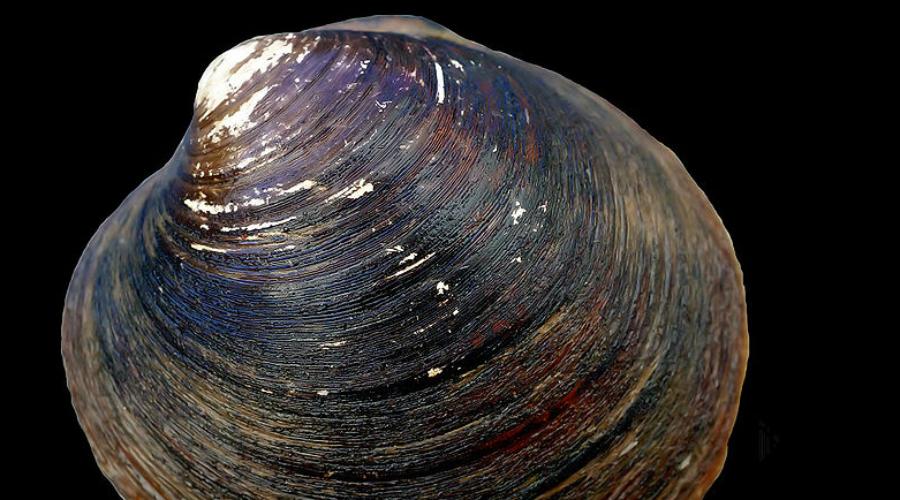 Неопилины А вот и еще одно живое существо, практически не изменившееся за все 400 миллионов лет своего существования. Встретить необычного моллюска можно лишь на огромной глубине, и ученые только недавно смогли выделить его в отдельный вид.
