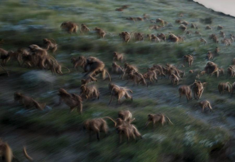 Ночная паника Джеффри Керби Когда тьма опускается на Гуасу, стаи обезьян устремляются вниз по склону, где утесы смогут защитить их от опасности. Они проведут ночь на узких скалистых выступах, куда не в силах добраться гиены, леопарды и дикие собаки.