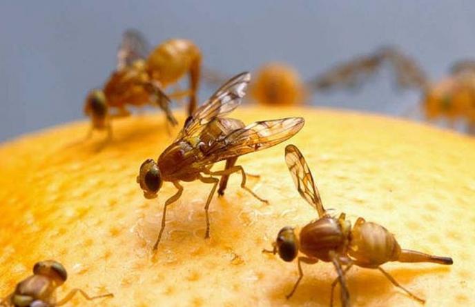 Плодовые мушки Любите есть фрукты прямо на рынке? Ну, тогда смиритесь с тем, что вместе с изюмом вы съедаете и несколько плодовых мушек. Кстати, в цитрусовых соках этих маленьких насекомых просто уйма.