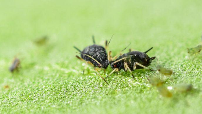 Долгоносики А вот долгоносиков разглядеть вообще нереально. Мельчайшие насекомые очень ловко скрываются в горохе и бобах, а затем путешествуют по вашему пищеводу. Приятного аппетита!