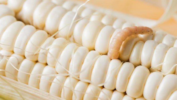 Кукурузные черви Консервированную кукурузу добавляют чуть ли не в каждый второй популярный салат. Между тем, именно здесь водятся так называемые кукурузные черви… Они почти незаметны невооруженному глазу, но они есть.