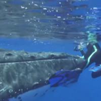 Пятиметровая акула хотела напасть на дайвера, но на помощь пришли киты