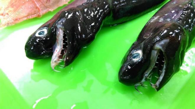 Чужой с выдвигающимися челюстями был пойман у берегов Тайваня