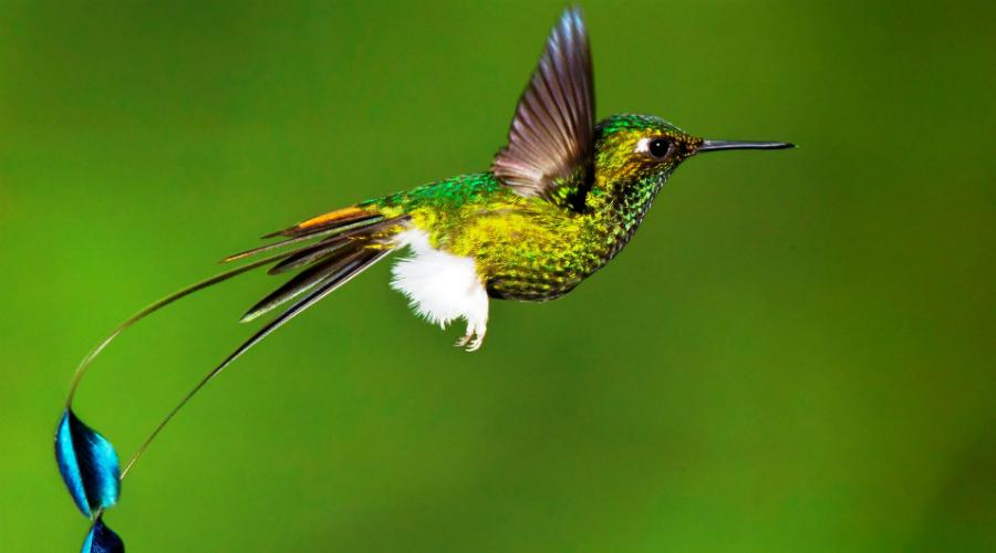 Колибри Колибри летает так быстро, потому что умеет делать 80 взмахов крыльями в секунду. Энергия вырабатывается колоссальная, а перья должны мешать теплу уходить из тела. Притом, колибри живут в очень жарком климате — да они должны просто сгорать в воздухе при таких условиях. Только в 2016 году биологам удалось понять, как выживают эти птицы. Оказалось, что на теле колибри расположены несколько специальных зон, через которые и сбрасывается лишняя энергия.
