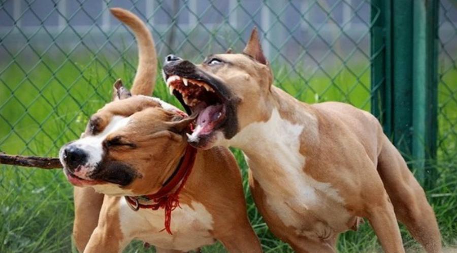 Стаффордширский терьер Когда-то стаффордов выводили специально для собачьих боев. Порода получилась злая и смелая, без постоянных дрессировок стаффордширский терьер может превратиться в настоящую проблему. Сила сжатия челюстей — 120 килограммов на квадратный сантиметр.