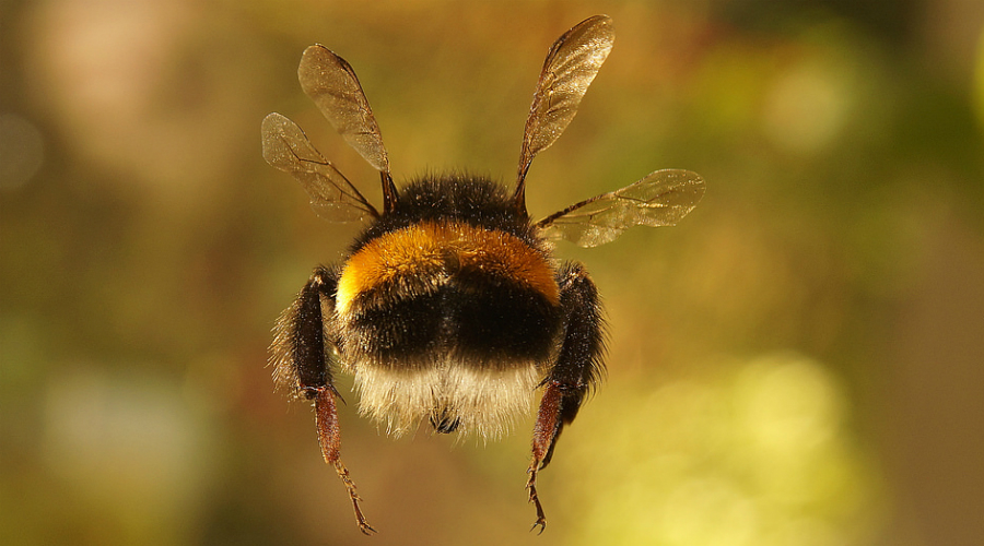 Шмель Удивительно, но по всем принципам аэродинамики шмель просто не может летать. Это еще в 1934 году обнаружил энтомолог Антуан Маньян. Загадка разрешилась лишь несколько десятилетий спустя: оказывается, особое строение крыла позволяет шмелю создавать небольшие завихрения воздуха, поднимающие насекомое вверх при любом движении крыльев.