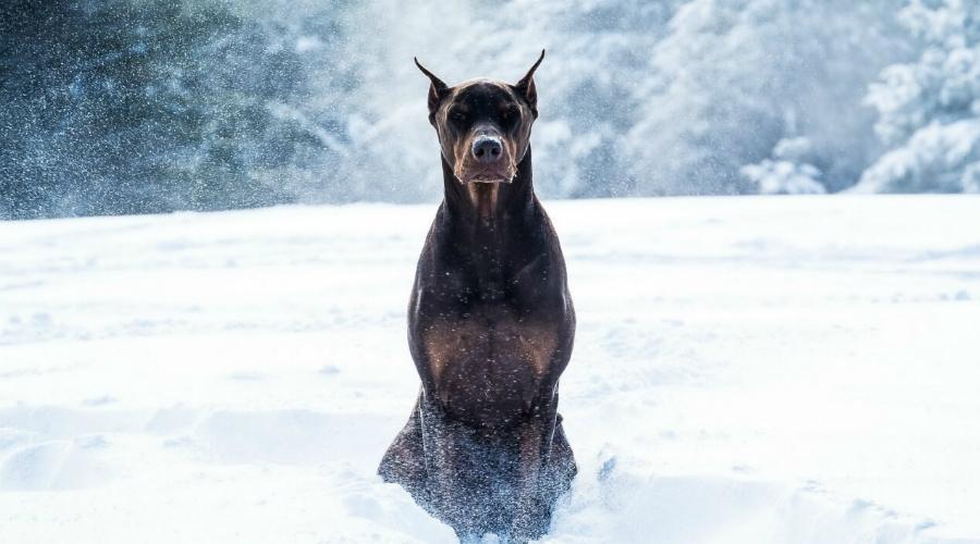 Доберман Смелый и агрессивный доберман станет прекрасным компаньоном умному хозяину. Лентяю такая собака не подойдет: почуяв слабину, доберман будет ставить себя в доминирующую позицию, а соревноваться с собакой, сила укуса которой равна 142 килограммам на квадратный сантиметр, не стоит даже Халку.