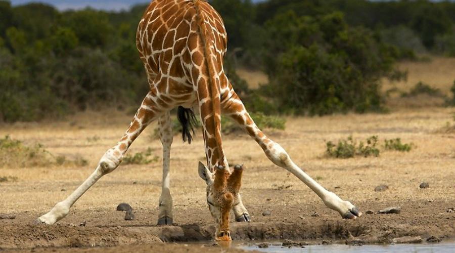 Жираф Да это, видимо, шутка какая-то — подумали, наверное, ученые, увидев жирафа первый раз. Создание и в самом деле уникальное — его огромное (10 килограммов) сердце даже не способно поднять кровь к голове! Жираф не должен наклоняться вообще, ведь подобный трюк может привести к обмороку. Лишь в 2016 году биологи раскрыли секрет этого удивительного животного: особое строение желудочков позволяет подниматься крови выше, а сосуды шеи не разрываются от прилива плазмы потому, что чрезвычайно эластичны. В обморок жираф тоже не падает, поскольку вся кровь скапливается в специальных венах, тянущихся вдоль шеи.
