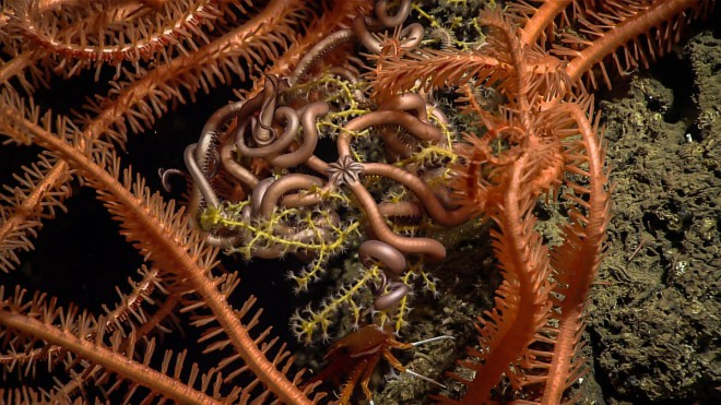in-this-image-you-can-see-a-tiny-snake-star-surrounded-by-the-spiny-arms-of-larger-sea-stars-coiled-among-the-branches-of-a-coral-at-a-depth-of-1315-feet