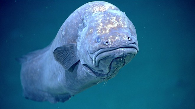 this-grumpy-looking-cusk-eel-is-pictured-at-a-depth-of-1585-feet