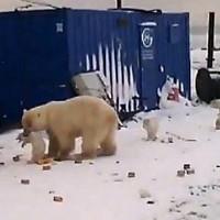 Белый медведь превратил обычный поселок в территорию охоты