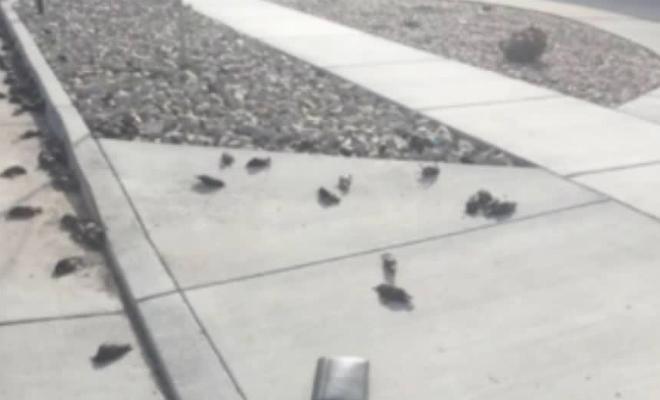 Тысячи птиц упали с неба США и религиозные фанатики заговорили об апокалипсисе