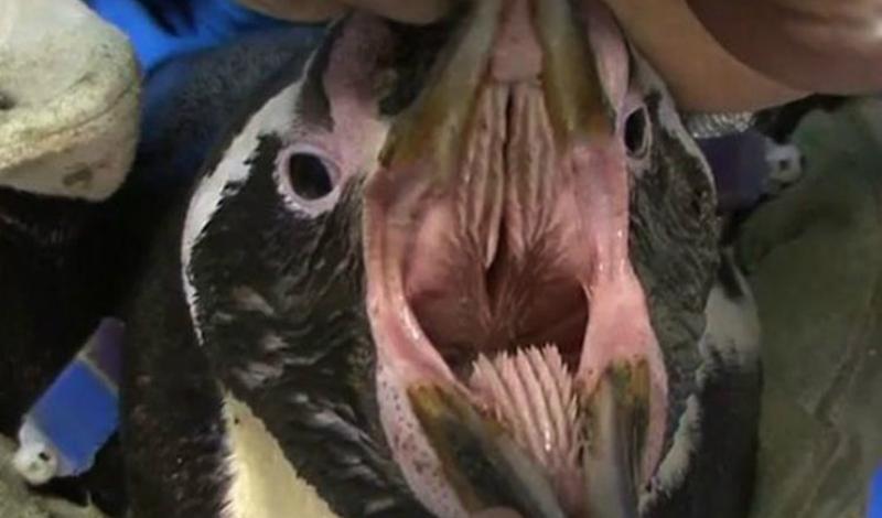 Пингвин Кто мог представить, что милый с виду пингвин является обладателем столь страшной пасти? Зубы у этой птички растут даже на языке, и у рыбы нет никаких шансов выбраться из такой ловушки.