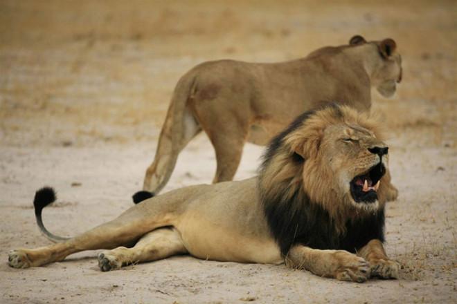 Львы съели охотившегося на них браконьера