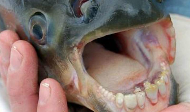 Рыба Паку Рыба Паку обладает почти человеческими зубами. Это и пугает: ее челюсти способны без особого труда раздробить очень крепкие панцири морских и речных обитателей.