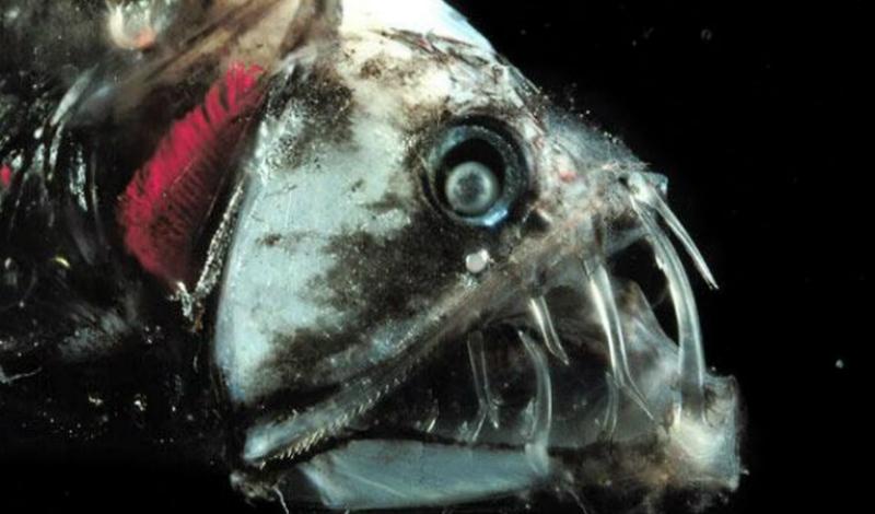 Пескарка Обитатель самых глубоких зон Мирового океана. С виду пескарка опаснее, чем многие акулы, но в реальности рыба практически безобидна — она слепа и ее размеры редко превышают 10-15 сантиметров.