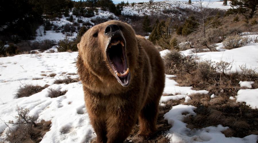 Игра в мертвеца Стоит ли притворяться мертвым перед медведем — вопрос дискуссионный. Это (скорее всего) сработает с бурым медведем или гризли, а вот для черного медведя такой трюк обеспечит просто еще более легкий ужин. Если решились притворяться, ложитесь лицом вниз, накройте затылок руками. Локтями прикрывайте лицо, медведь наверняка попробует перевернуть вас носом. Имейте в виду: если медведь уже начинает облизывать вас или немного покусывать — пора вставать и давать отпор. Дальше будет только хуже.