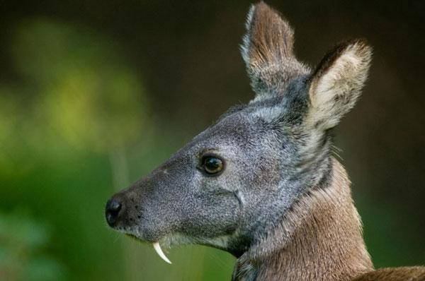 Саблезубый олень впервые в истории попал на видео