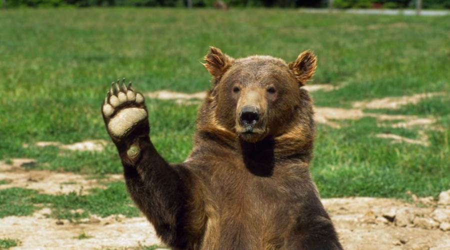 Деревья Действительно, медведи умеют залезать на деревья. И, тем не менее, спастись таким образом стоит попробовать. Тяжелый взрослый зверь просто не сможет залезть так высоко, как вы — его не выдержат ветки. Другое дело, что осаду на дереве придется держать долго. Все лучше, чем сражаться с диким зверем голыми руками.