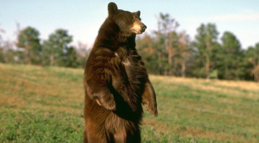 Побег И не думайте убежать от медведя. Почти все виды способны развивать скорость до 70 км/ч… С таким же успехом вы могли бы попробовать убежать от автомобиля на трассе. Кроме того, такое поведение покажет, что вы добыча. Само собой зверь кинется на вас!