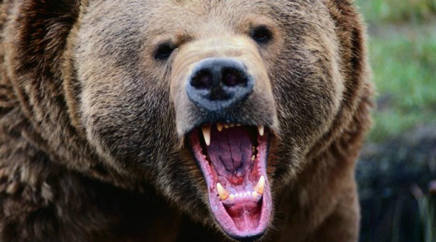 Поднимайте шум Медведи, да и другие животные, не способны рационально оценить силу противника. Они оперируют простыми данными: размер, поведение, уровень угрозы. Если медведь уже направляется к вам и сворачивать явно не собирается, поднимите над головой куртку и попробуйте покричать. Громкий, высокий — возможно опасный соперник. Вполне вероятно, медведь решит просто с вами не связываться.