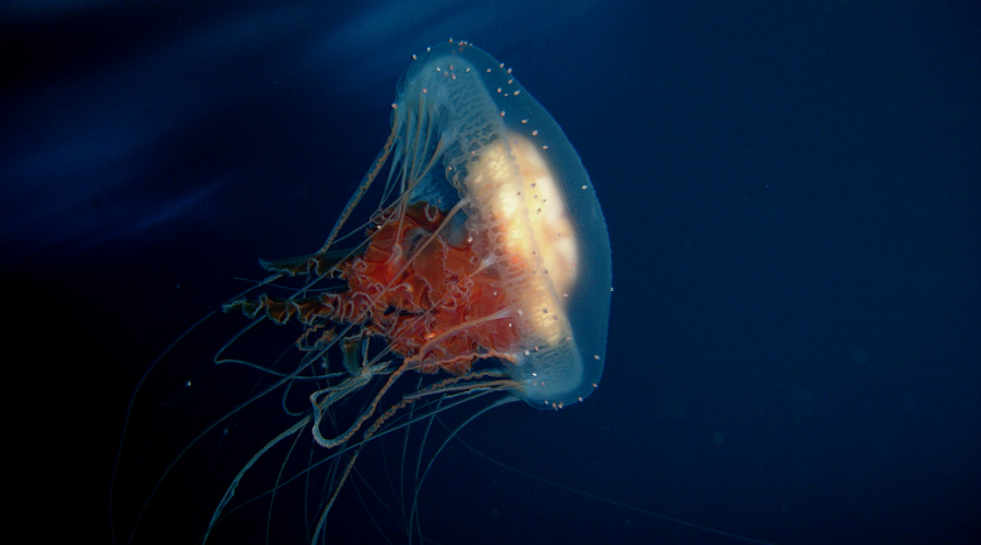 Бессмертная медуза Медуза Turritopsis Nutricula не имеет никаких особенных сверхспособностей, просто живет вечно. Достигая зрелого возраста, она превращается в полип, на котором в свою очередь формируются новые медузы. Этот фокус Turritopsis Nutricula способна проворачивать сколько угодно раз. Вот тут мы писали о ней подробнее.