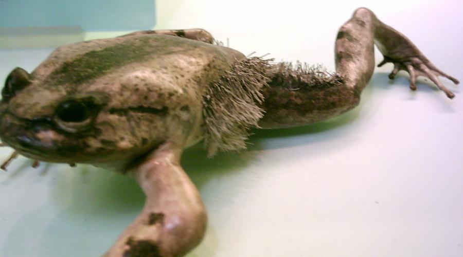 Волосатая лягушка Вы бы глазам не поверили, повстречай такую лягушку. Это так же бредово, как мохнатая рыба! Кроме того, лягушки в зрелости отращивают длинные когти на втором, третьем и четвертом пальце задних лап. Получается такая Росомаха из «Людей Икс» — волосатая и когтистая.