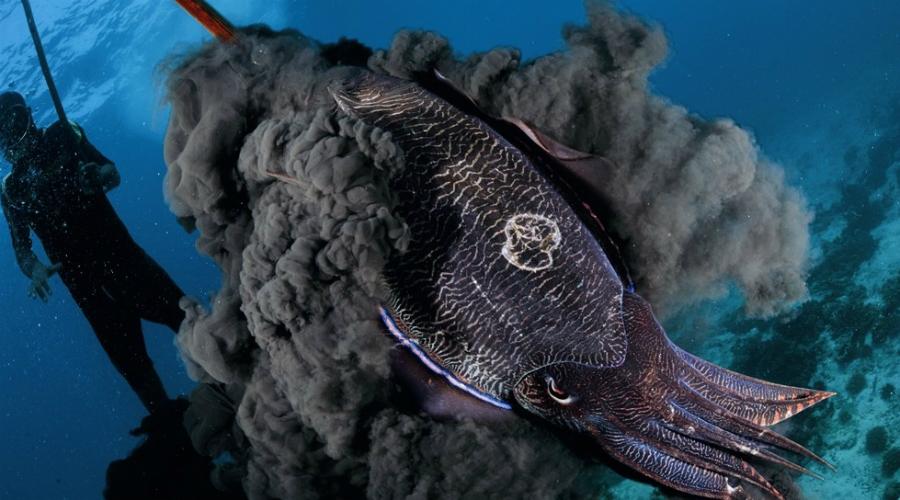 Каракатица Каракатицы удивительны. Используя пигментированные органы на их коже, называемые хроматофорами, они меняют цвета и узоры, маскируясь под окружающее пространство. Но это еще не все: специальный «режим» мигания, стробирующий свет, завораживает добычу каракатиц.