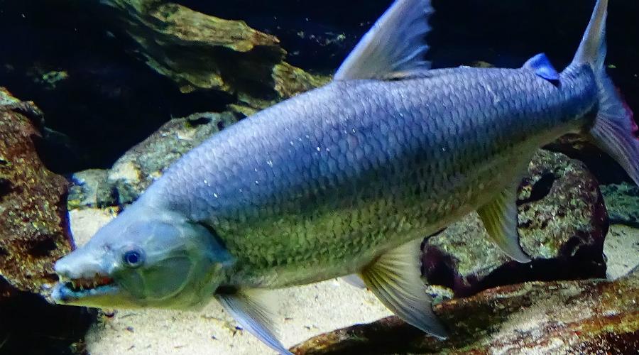 Большая тигровая рыба Поверьте, эту рыбку в аквариум лучше не запускать. Большая тигровая рыба вырастает в полтора метра длинной, а к зрелости обзаводится 32 длинными клыками, что выглядит просто пугающе. И кстати, она время от времени охотится на крокодилов. Так, от скуки.