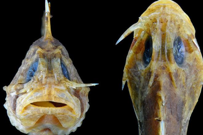 Австралийская рыба носит нож за щекой и никого не боится