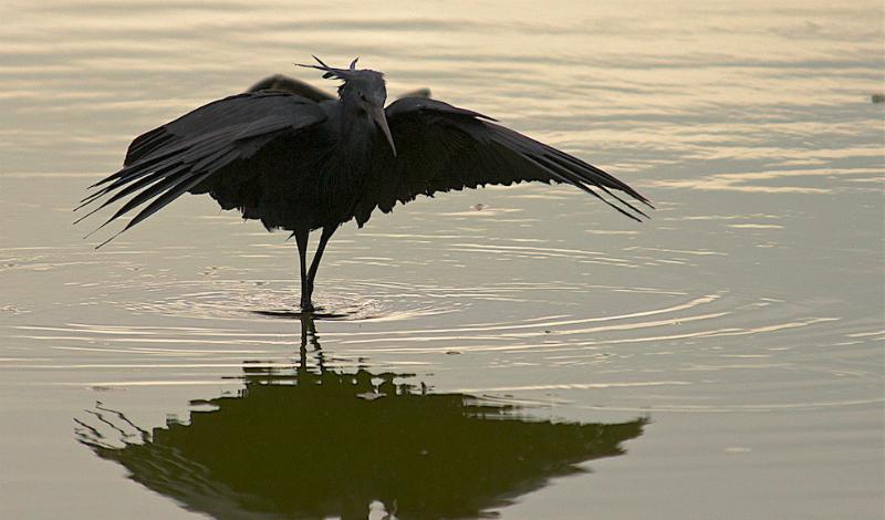 Черная цапля Цапли ассоциируются у большинства людей с болотом и лягушками — ничего сверхъестественно умного от этих птиц не ждут. Однако, черная цапля охотится крайне хитро и умно.Неторопливо вышагивая по водоему, она расправляет свои крылья в своеобразный зонтик. На воду ложится тень и рыбы считают, что это тень от надежного укрытия и сами стремятся туда, где совсем скоро станут обедом.